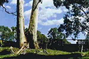Gum tree - Tracey Wild Heart