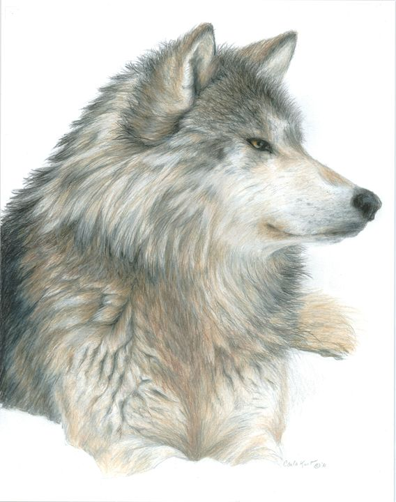 Relaxing Wolf - Carla Kurt Art