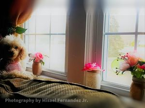 Poodle in pink by the window