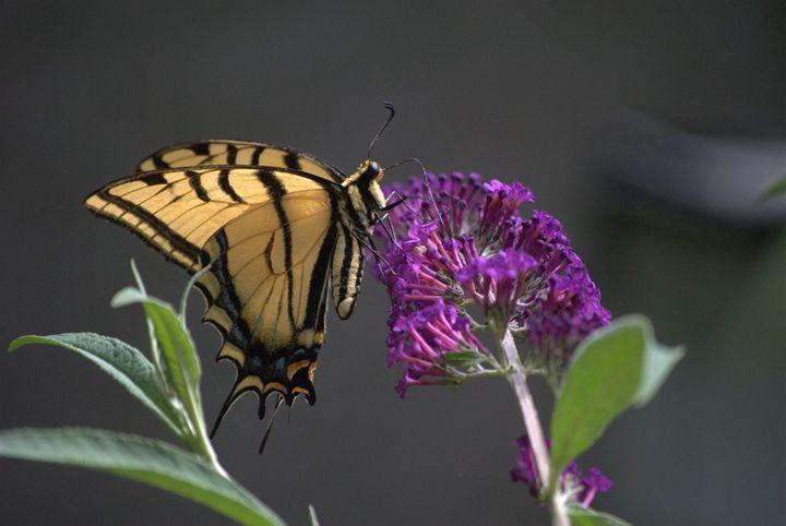 Butterfly -  Mdohnalek