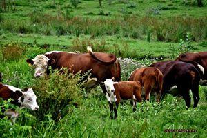 Jersey Cows in Pasture