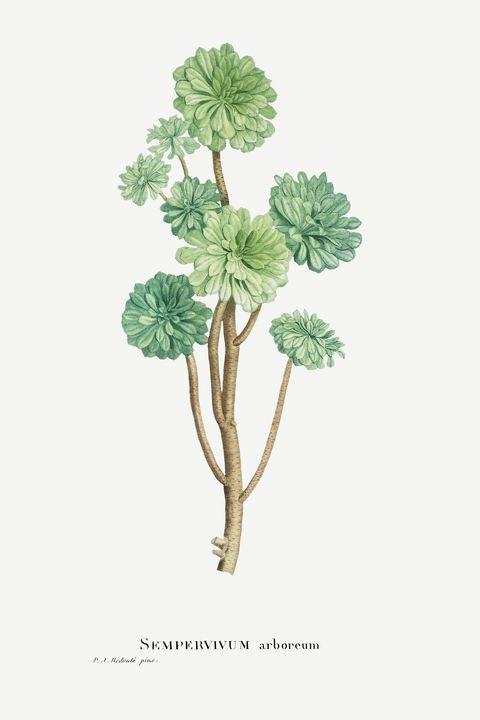 Sempervivum Arboreum (Tree Houseleek - Rina
