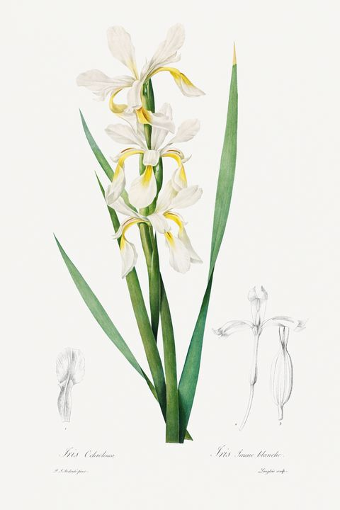 Gold-banded Iris (1812) by Pierre-Jo - Rina