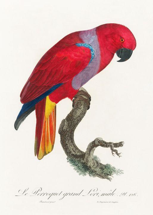 The Eclectus Parrot, Eclectus roratu - Rina