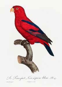 The Red Lory, Eos bornea from Natura