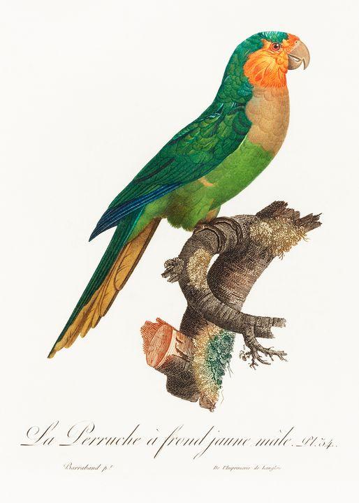 The Yellow-Headed Amazon, Amazona or - Rina
