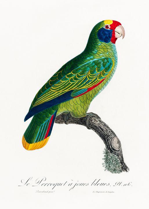 Red-and-Blue Amazon, Amazona caerule - Rina