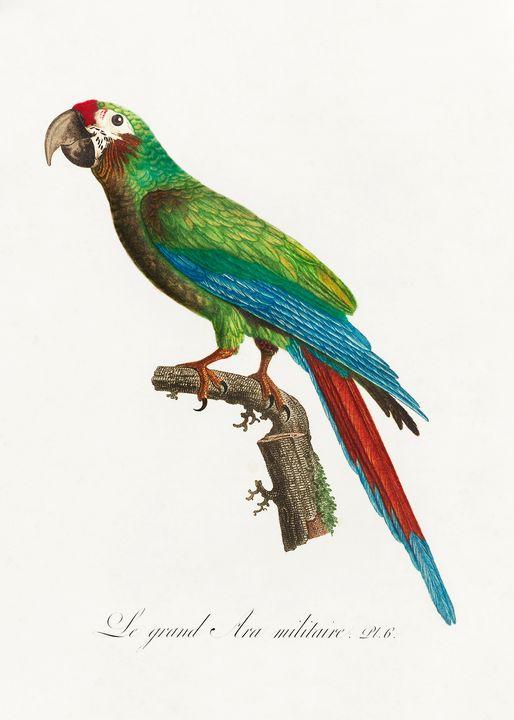 The Great Military Macaw, Ara ambigu - Rina