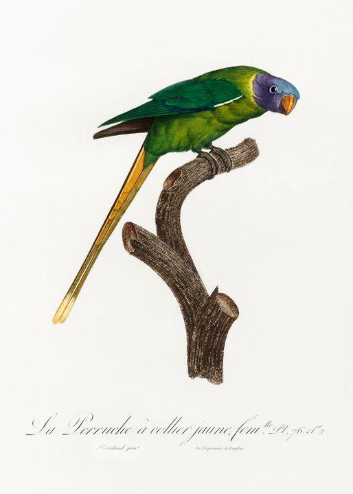 The Plum-Headed Parakeet, female fro - Rina