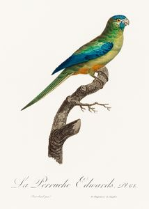 Turcosine Ground Parakeet from Natur