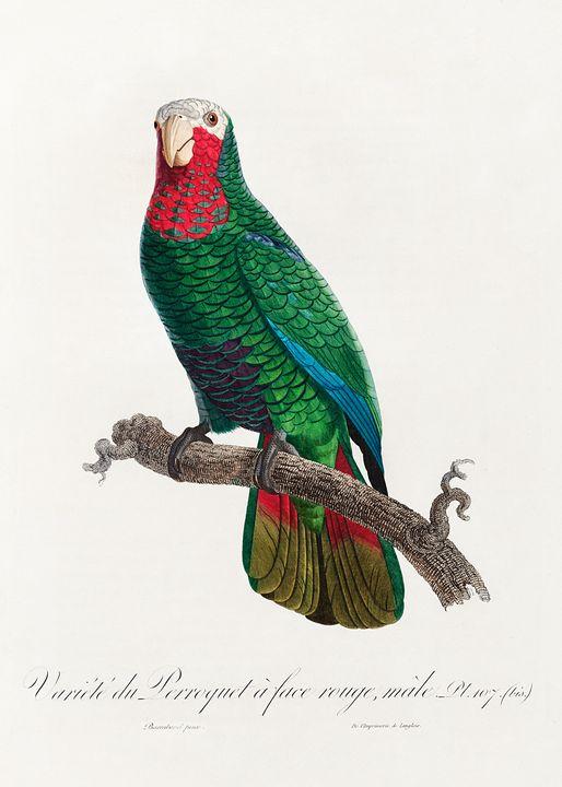 The Cuban Amazon (Amazona leucocepha - Rina