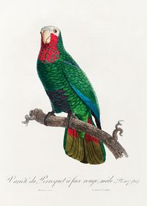 The Cuban Amazon (Amazona leucocepha