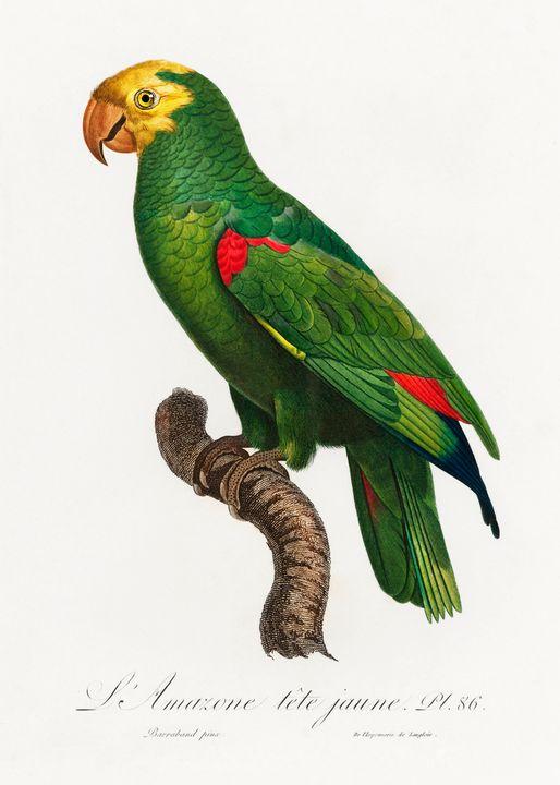 Yellow-Crowned Amazon, Amazona ochro - Rina