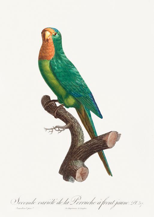 The brown-throated parakeet, Eupsitt - Rina