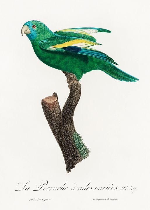 The white-winged parakeet, Brotogeri - Rina
