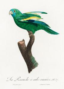The white-winged parakeet, Brotogeri