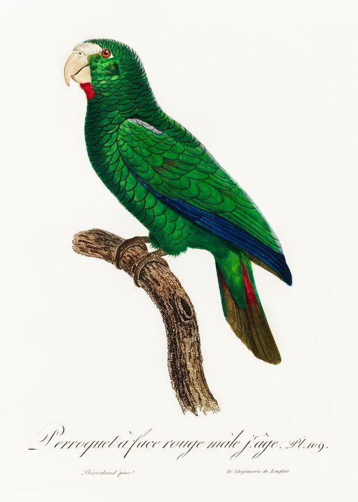 The Cuban Amazon, Amazona leucocepha - Rina