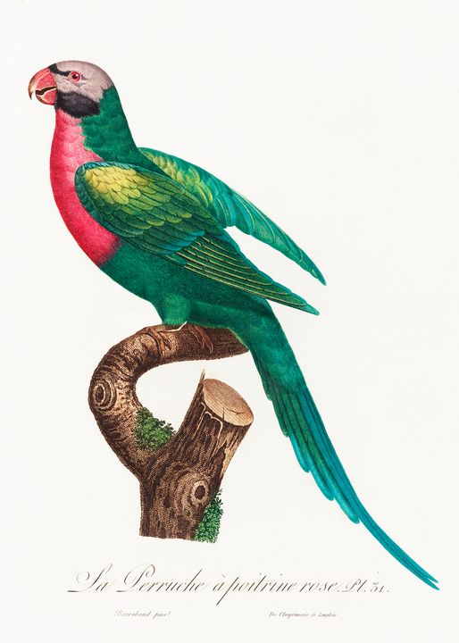 The Red-Breasted Parakeet, Psittacul - Rina