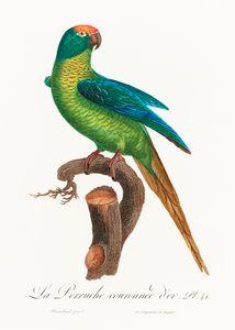 The Peach-Fronted Parakeet, Eupsittu
