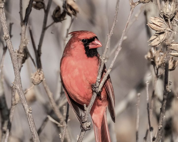 Understated Cardinal - Lori's Nature Scene