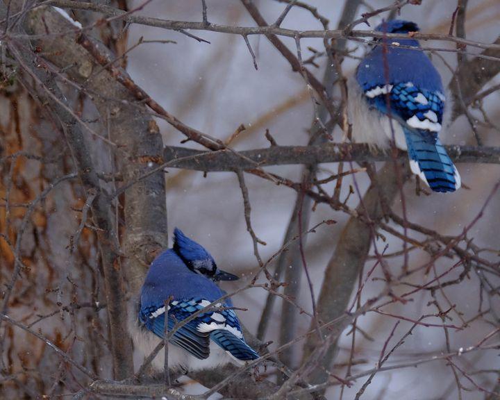 Winter Fluff - Lori's Nature Scene