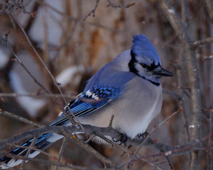 Winter Bluejay - Lori's Nature Scene