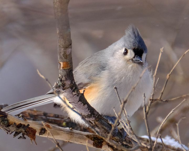 Tufted Titmouse in Winter - Lori's Nature Scene