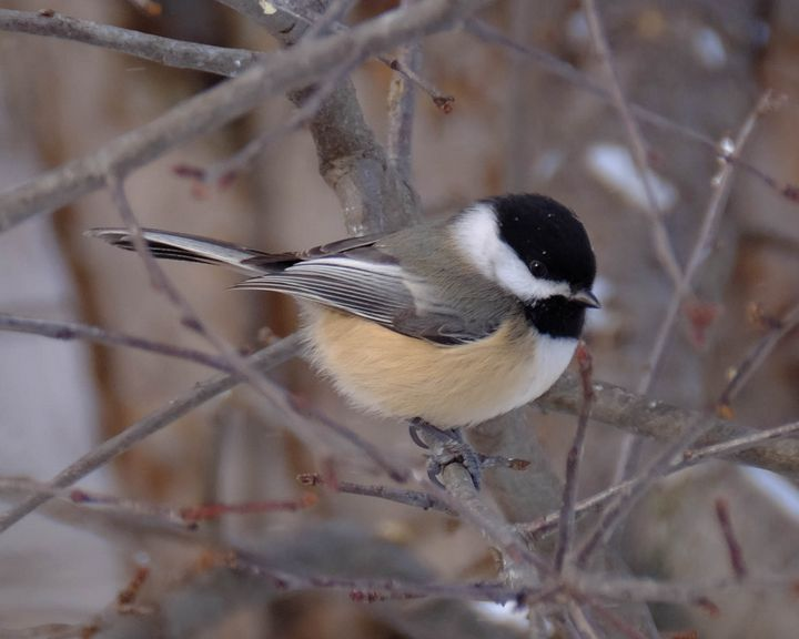 Plump Winter Chickadee - Lori's Nature Scene