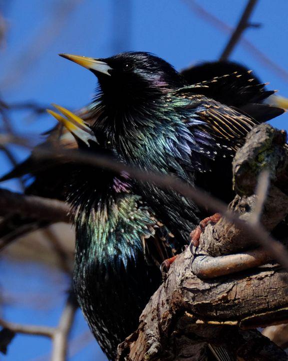 A Huddle of Starlings - Lori's Nature Scene