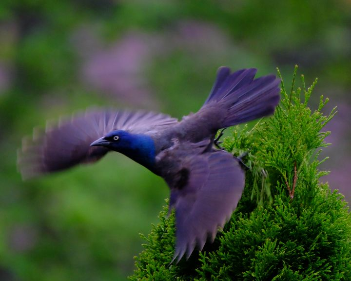 The Flight of the Grackle - Lori's Nature Scene