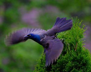 The Flight of the Grackle - Lori's Nature Scene