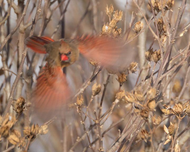 A Blur of Red - Lori's Nature Scene