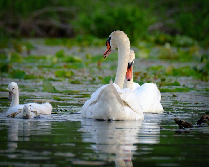 Swanning Around with the Family - Lori's Nature Scene