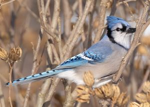 Bluejay Side Eye