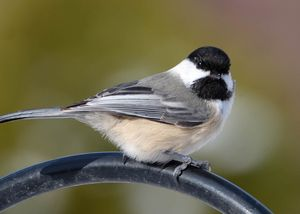 Black-capped Chickadee 1902