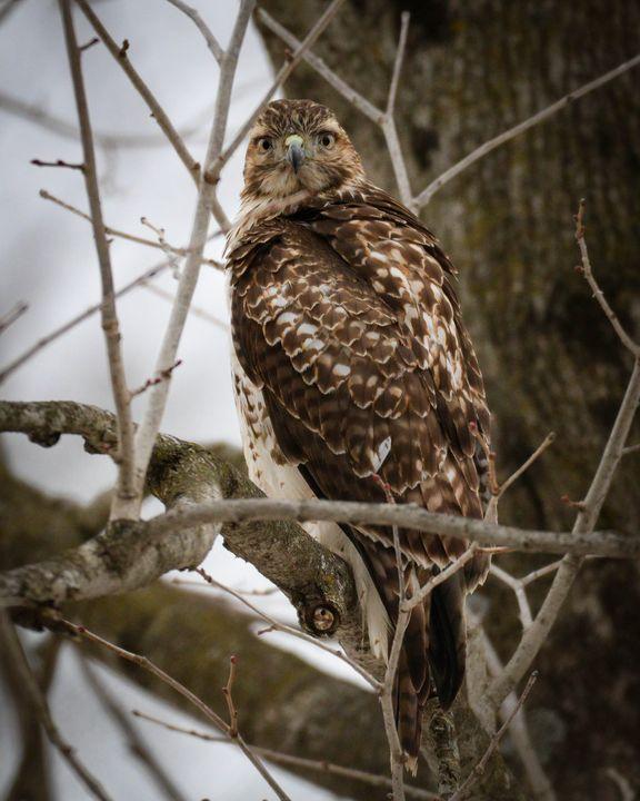 Hawk Eye - Lori's Nature Scene