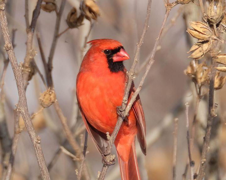 Cardinal Strikes a Pose - Lori's Nature Scene