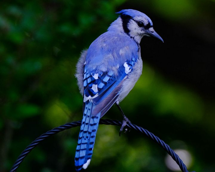 Bluejay Looks Back - Lori's Nature Scene