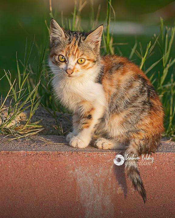 Yavru kedi - yyazilim