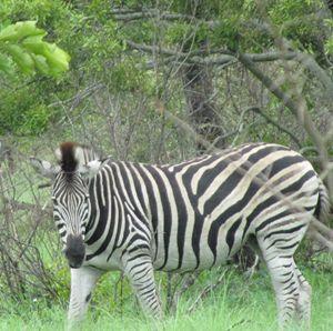 Zebra_1 - busang4321