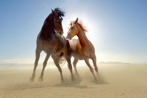 Two wild horses in the desert