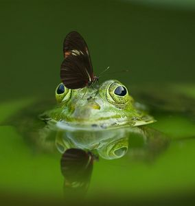 Gorgeous green water frog