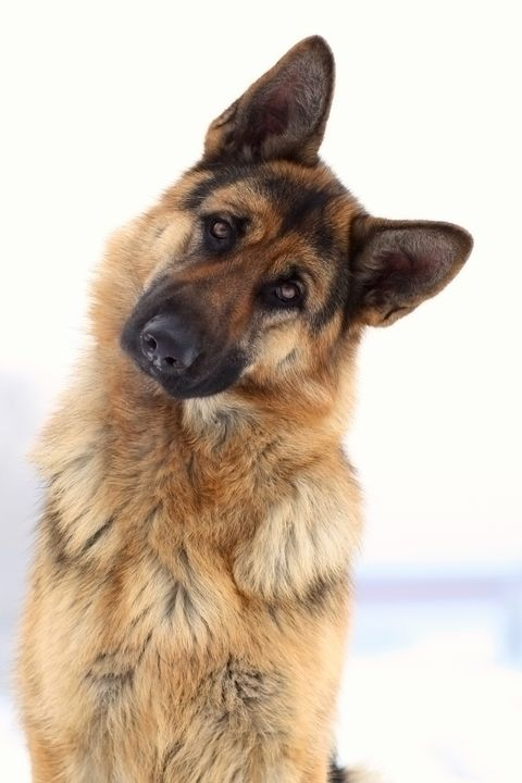 Adorable funny german shepherd - PaST PReSENcE ArT