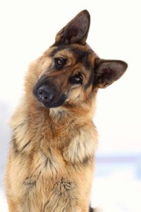 Adorable funny german shepherd