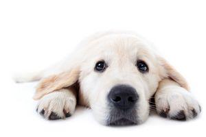 Golden retriever cute puppy