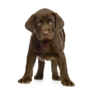Chocolate Labrador Retriever Pup - PaST PReSENcE ArT