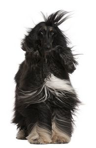 Windblown Afghan Hound