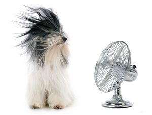 Tibetan terrier and his fan