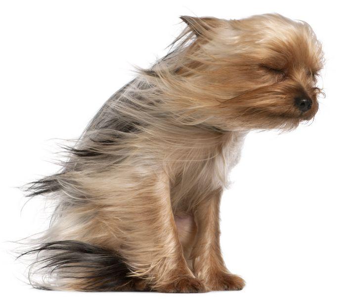 Yorkshire Terrier - PaST PReSENcE ArT