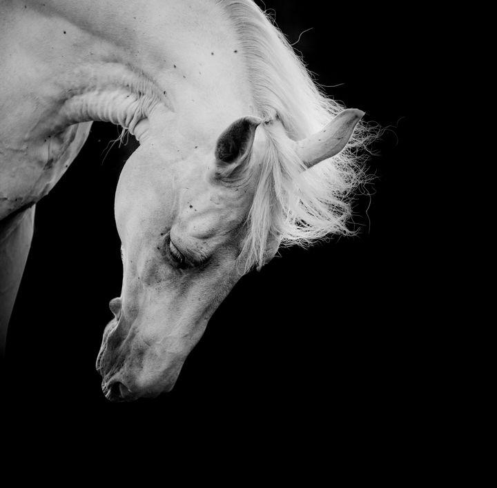 Stunning white horse on black - PaST PReSENcE ArT